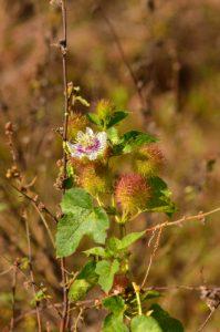 La Passiflore fétide ou Marigouya (Passiflora foetida)<br> Chemin des Sources Chaudes de la Montagne Pelée<br> Parc Naturel Régional de La Martinique