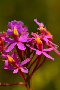 Orchidée Épidendron (Epidendrum secundum)<br> Chemin des Sources Chaudes de la Montagne Pelée<br> Parc Naturel Régional de La Martinique