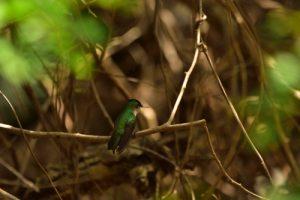 Le Colibri huppé (Orthorhyncus cristatus)<br> Mare du Morne Champagne<br> Parc Naturel Régional de La Martinique