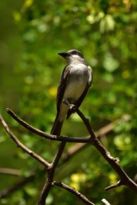 Tyran gris (Tyrannus dominicensis)<br> Morne Champagne<br> Parc Naturel Régional de La Martinique
