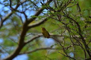 La Palurine jaune (Dendroica petechia)<br> Mare du Morne Champagne<br> Parc Naturel Régional de La Martinique