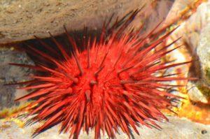 L'Oursin perforant de l'Atlantique (Echinometra lucunter)<br> La piscine naturelle l'Œil bleu du Cap Ferré<br> Trace des Caps de Cul-de-Sac Ferré à la Baie des Anglais<br> Parc Naturel Régional de La Martinique