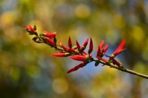 L'Immortelle (Erythrina corallodendrum) en fleur<br> La Pointe de Brunel de la Presqu'île de la Caravelle<br> Parc Naturel Régional de La Martinique