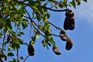 Le Courbaril (Hymenaea courbaril) et ses fruits<br> La Pointe de Brunel de la Presqu'île de la Caravelle<br> Parc Naturel Régional de La Martinique