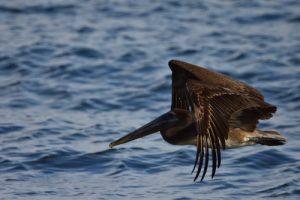 Le Pélican brun (Pelecanus occidentalis)<br> Tombolo de Sainte-Marie<br> Parc Naturel Régional de La Martinique