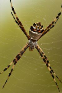 L'Argiope argentée (Argiope argentata)<br>Trace des Caps à Baie des Anglais<br> Parc Naturel Régional de La Martinique