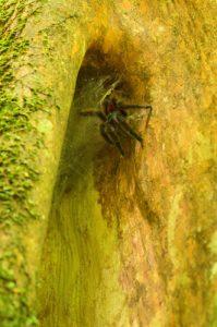 Mygale arboricole Matoutou (Avicularia versicolor)<br> Chemin de la Cascade Couleuvre<br> Parc Naturel Régional de La Martinique