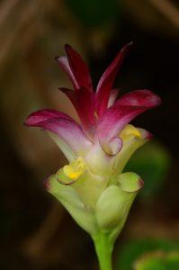 Le Curcuma ou Safran-coolie (Curcuma longa)<br> L'Anse des Galets<br> Parc Naturel Régional de La Martinique