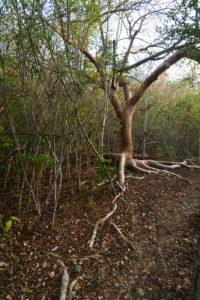 Le Gommier rouge (Bursera simaruba)<br> La Pointe du Vauclin<br> Parc Naturel Régional de La Martinique