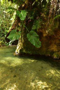 La rivière du Lorrain &amp; la Forêt hygrophile<br> Trace des Jésuites<br> Parc Naturel Régional de La Martinique