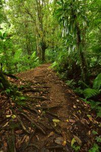 La Forêt hygrophile<br> Trace des Jésuites<br> Parc Naturel Régional de La Martinique