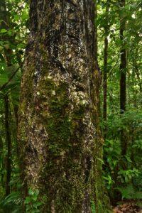Le Gommier blanc (Protium attenuatum)<br> La Forêt hygrophile de la Trace des Jésuites<br> Parc Naturel Régional de La Martinique