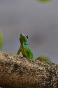 L'Anolis (Anolis roquet)<br> L'Anse à Voile<br> Parc Naturel Régional de La Martinique