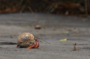 Le Bernard-l'Ermite (Coenobita clypeatus)<br> L'Anse à Voile<br> Parc Naturel Régional de La Martinique