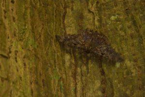 Le Papillon deuil (Ascalapha odorata)<br> L'Anse à Voile<br> Parc Naturel Régional de La Martinique