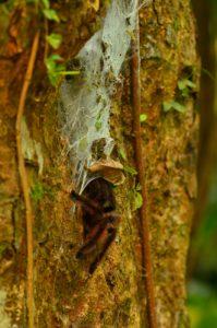 Mygale arboricole Matoutou (Avicularia versicolor)<br> Trace du Prêcheur à Grand'Rivière<br> Parc Naturel Régional de La Martinique