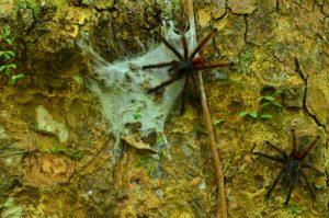 Mygale arboricole Matoutou (Avicularia versicolor)<br> Trace Prêcheur - Grand'Rivière<br> Parc Naturel Régional de La Martinique