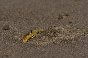 Crabe mal z'oreille (Ocypode quadrata)<br> L'Anse à Voile<br> Parc Naturel Régional de La Martinique