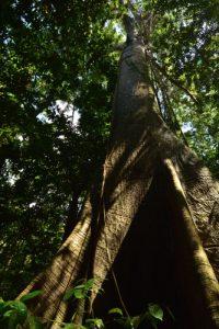 Forêt primaire derrière Anse à Voile<br> Parc Naturel Régional de La Martinique