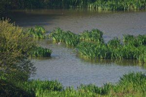 Le Tadorne de Belon (Tadorna tadorna)<br> Espace Naturel Sensible de la Baie de Wissant<br> Parc Naturel Régional des Caps et Marais d'Opale