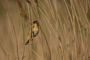 Oiseau<br> Espace Naturel Sensible des Dunes du Fort Vert<br> Parc Naturel Régional des Caps et Marais d'Opale