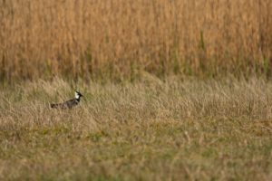 Le Vanneau huppé (Vanellus vanellus)<br> Espace Naturel Sensible des Dunes du Fort Vert<br> Parc Naturel Régional des Caps et Marais d'Opale