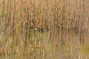 Le Grèbe castagneux (Tachybaptus ruficollis)<br> Espace Naturel Sensible des Dunes du Fort Vert<br> Parc Naturel Régional des Caps et Marais d'Opale