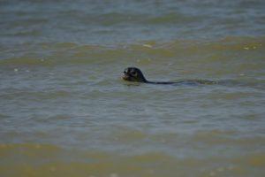 Le Phoque commun, ou veau marin (Phoca vitulina)<br> Espace Naturel Sensible des Dunes du Fort Vert<br> Parc Naturel Régional des Caps et Marais d'Opale