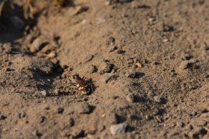 La Cicindèle hybride (Cicindela hybrida)<br> Espace Naturel Sensible des Dunes du Fort Vert<br> Parc Naturel Régional des Caps et Marais d'Opale