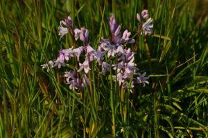 La Jacinthe des bois ou Jacinthe sauvage (Hyacinthoides non-scripta)<br> Espace Naturel Sensible des Dunes du Fort Vert<br> Parc Naturel Régional des Caps et Marais d'Opale
