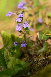 Lierre terrestre commun (Glechoma hederacea)<br> Sentier des Têtards<br> Espace Naturel Sensible du Marais de Guînes<br> Parc Naturel Régional des Caps et Marais d'Opale