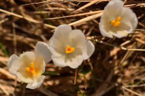 Le Crocus blanc (Crocus vernus)<br> Chemin de la Cascade de Saute-Aure<br> Massif du Dévoluy