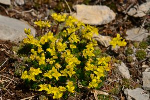 Drave faux-aizoon (Draba aizoides)<br> Chemin de la Cascade de Saute-Aure<br> Massif du Dévoluy