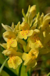 L'Orchis sureau (Dactylorhiza sambucina)<br> Chemin de la Cascade de Saute-Aure<br> Massif du Dévoluy