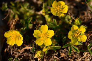 Fleur<br> Chemin de la Cascade de Saute-Aure<br> Massif du Dévoluy