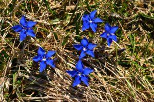 Gentiane (Gentiana sp.)<br> Chemin de la Cascade de Saute-Aure<br> Massif du Dévoluy