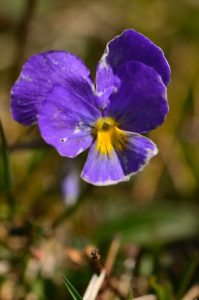 La Pensée tricolore (Viola tricolor)<br> Chemin du Lac du Lauzon au Col de la Croix<br> Massif du Dévoluy