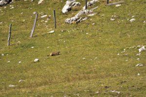 La Marmotte (Marmota marmota)<br> Chemin du Lac du Lauzon au Col de la Croix<br> Massif du Dévoluy