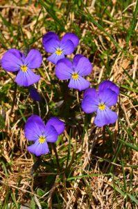 La Pensée tricolore (Viola tricolor)<br> Chemin du Lac du Lauzon<br> Massif du Dévoluy