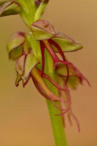 L'Orchis homme-pendu (Orchis anthropophora)<br> Espace Naturel Sensible des Bouligons