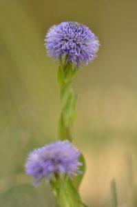 La Globulaire commune (Globularia bisnagarica)<br> Espace Naturel Sensible des Bouligons