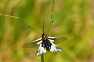 L'Ascalaphe soufré (Libelloides coccajus)<br> Les Gorges de la Méouge<br> PNR des Baronnies provençales