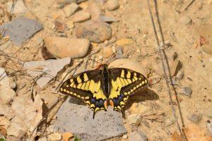 Le Machaon (Papilio machaon)<br> Réserve biologique dirigée des Gorges de la Méouges<br> PNR des Baronnies provençales