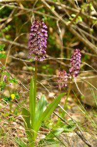 L'Orchis pourpre (Orchis purpurea)<br> Les Gorges de la Méouge<br> PNR des Baronnies provençales