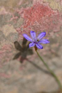 L'Œillet-bleu-de-Montpellier (Aphyllanthes monspeliensis)<br> Les Gorges de la Méouge<br> PNR des Baronnies provençales