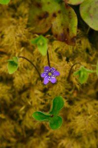 L'Anémone hépatique (Hepatica nobilis)<br> Les Gorges de la Méouge<br> PNR des Baronnies provençales