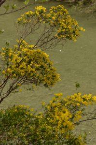 Le Cytise à feuilles sessiles (Cytisophyllum sessilifolium)<br> Les Gorges de la Méouge<br> PNR des Baronnies provençales