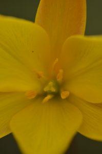 La Tulipe australe (Tulipa sylvestris subsp. australis)<br> Les Gorges de la Méouge<br> PNR des Baronnies provençales