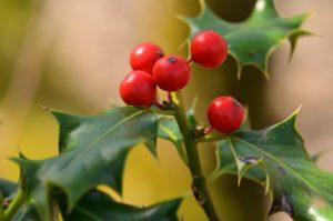 Le Houx (Ilex aquifolium) et ses baies rouges<br> Sentier Denecourt-Colinet n°11<br> Forêt domaniale de Fontainebleau