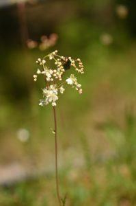 La Cétoine dorée (Cetonia aurata)<br> Aqueduc de la Dhuis<br> Forêt domaniale de Fontainebleau